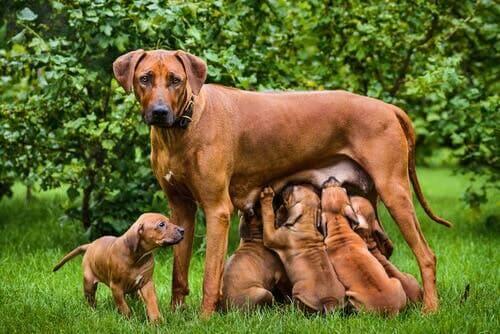 Köpeklerde Emzirme: Önemli Bilgiler