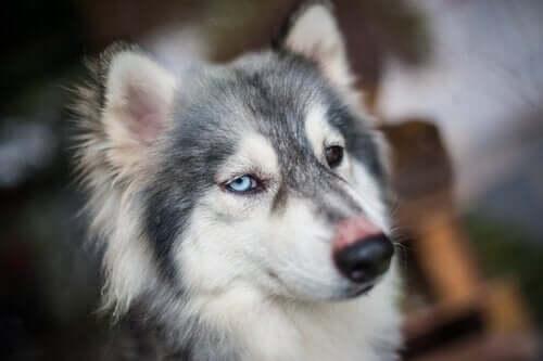 Köpeklerde Hıçkırığa Sebep Olan Şeyler