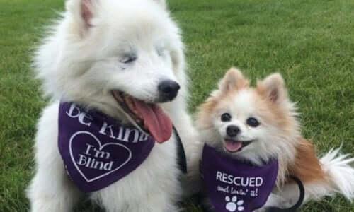 Gözleri Görmeyen Bir Köpek Ve Ona Rehber Olan Köpeğin Güzel Arkadaşlığı