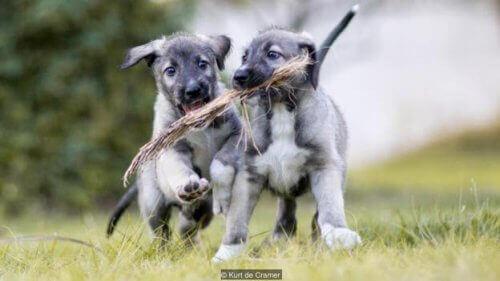 Tarihteki İlk Tek Yumurta İkizi Köpekler İle Tanışın