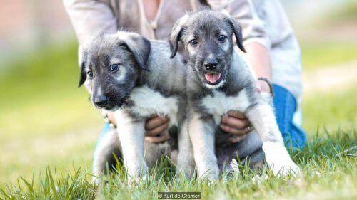 gri renkte ikiz köpekler