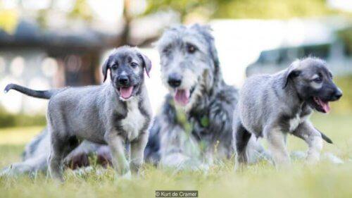 yavru kardeş köpekler ve tek yumurta ikizi köpekler