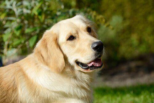 Köpeğinize Neden Kenevir Veremezsiniz?