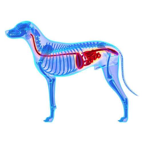 köpek anatomisi