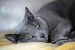 Kedi cinsi mavi Rus