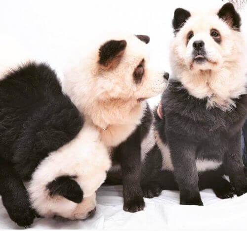 Panda Chow Chow: Köpek mi Yoksa Panda mı?