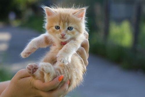 yavru sarı kedi ve kedi sahiplenmek