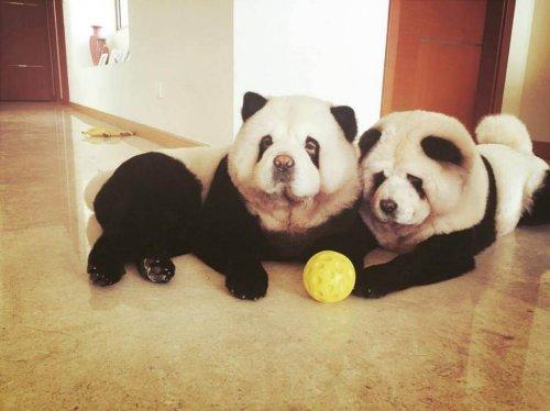 topla oynayan iki panda chow chow