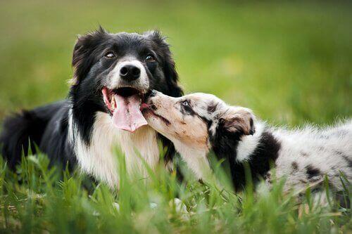 iki tüylü köpek koklaşıyor ve aşk hormonları
