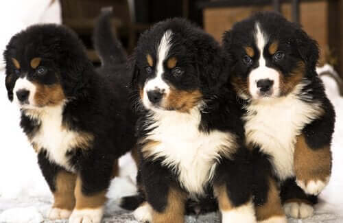 üç sevimli bernese dağ köpeği