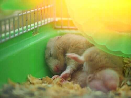 uyuyan hamster