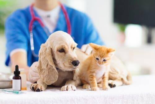 veterinerdeki kedi