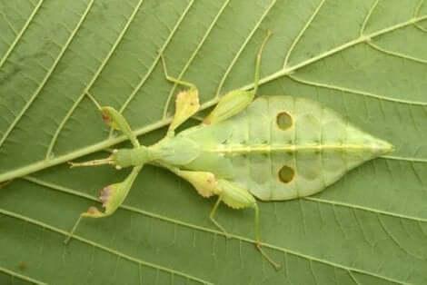 yaprak böceği