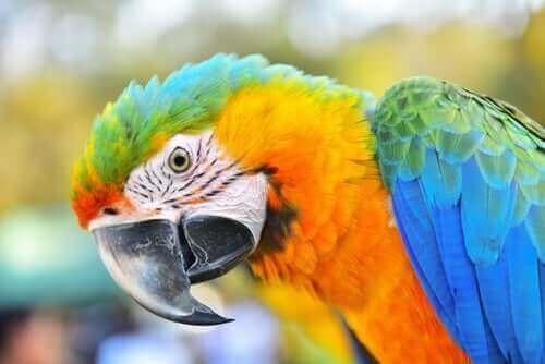 Amerika Papağanı: Oldukça Akıllı Bir Kuş