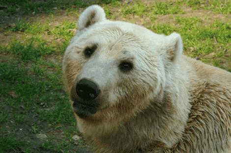 beyaz grolar ayısı
