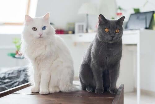 siyah ve beyaz kedi masanın üstünde oturuyor