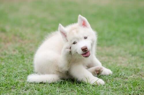 beyaz köpek kaşınıyor