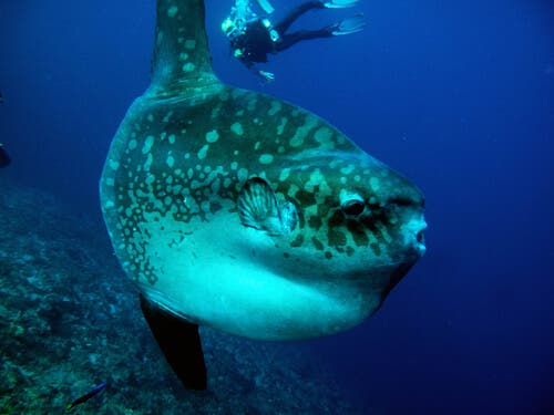 Pervane balığı yanında yüzen dalgıç