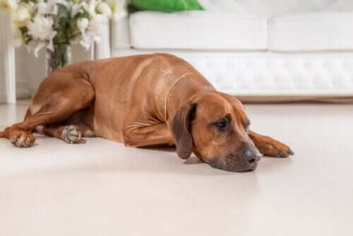 Köpeklerde Kötümserlik Tehlikelidir