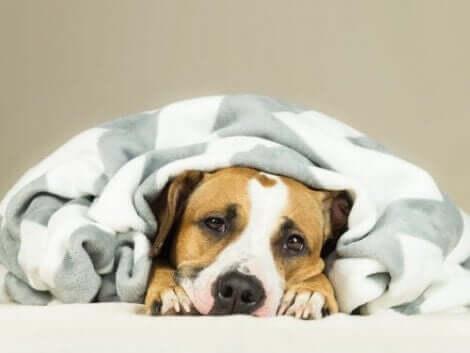 köpeklerde soğuk algınlığı belirtileri