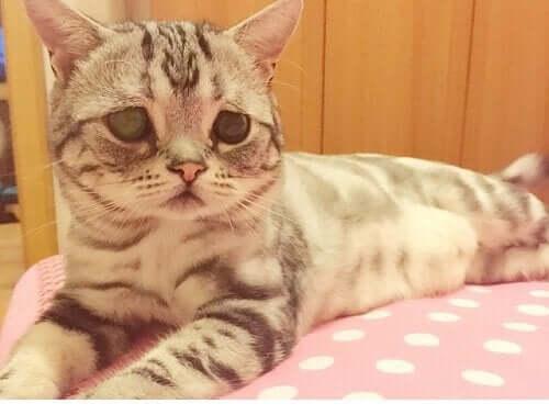Luhu İle Tanışın: Üzgün Suratlı Kedi Luhu Sosyal Medyada