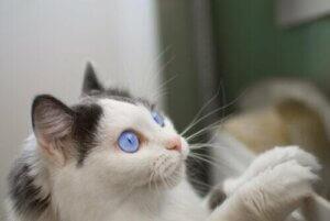 Mavi gözlü bir kedi