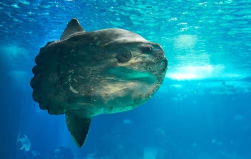 Pervane Balığı (Mola Mola): Dünyadaki En Ağır Balık