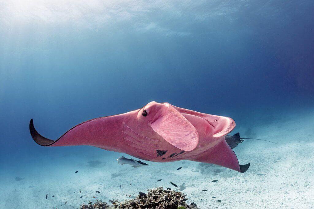 Büyük Set Resifinin Pembe Manta Vatozu