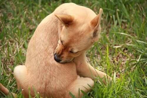 sarı köpek kendini yalıyor ve köpeklerde iç ve dış parazitler