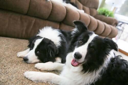 siyah beyaz iki köpek ve büyük köpek cinsleri