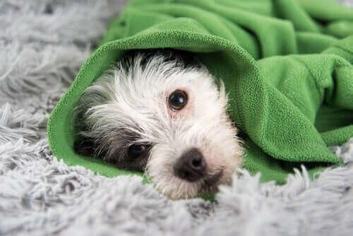 Köpeklerde Soğuk Algınlığını Önlemek İçin Yararlı İpuçları