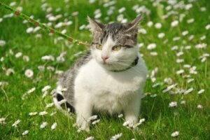 Dışarıda tasmayla gezen bir kedi