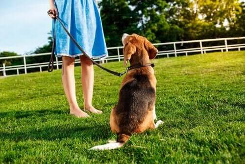 tasmalı köpek sahibine bakıyor