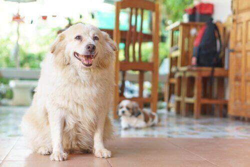 Köpeklerde Artrit: 7 Belirtisi