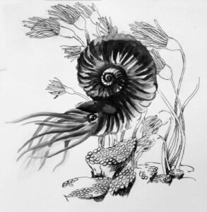 Bir amonit çizimi