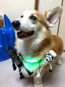 Inupathy takmış bir köpek