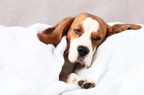Köpeklerde sancılar ve çözüm önerileri
