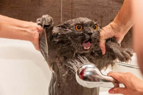 yıkanan kedi