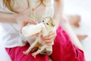 kolostrumun faydası: biberonla beslenen yavru kedi