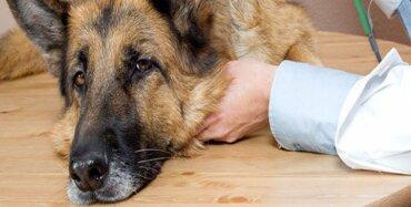 Köpeklerde İç Parazit ve Sağlığa Zararları