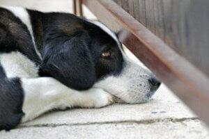 Kapı altından bakan bir köpek