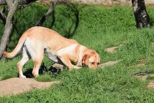 Köpeğinize Nasıl İz Sürme Eğitimi Verebilirsiniz?