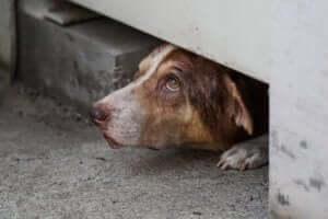 köpeklerde saklanma davranışı
