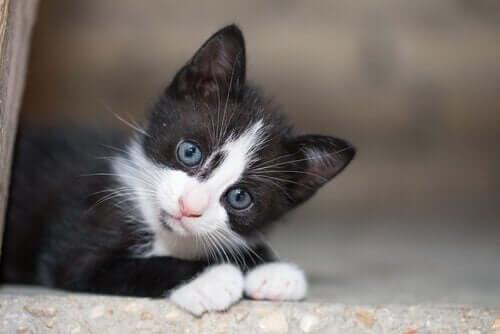 mavi gözlü siyah sokak kedisi