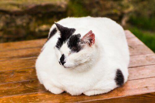 Kedilerde Obezlik Hakkında Bilinmesi Gerekenler
