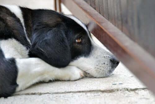 Köpekler Panik Atak Geçirebilir Mi?
