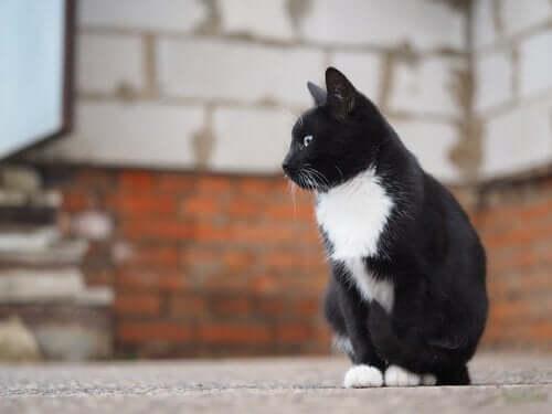 siyah beyaz tüylü sokak kedisi