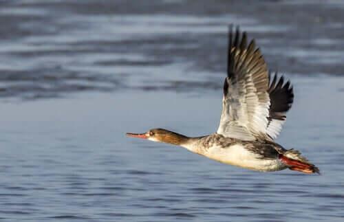 Carolina ördekler değişik gaga yapısına sahip