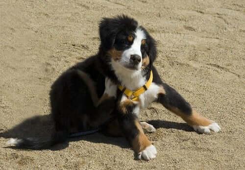 Pire Alerjisi Olan Köpekler için Önlemler