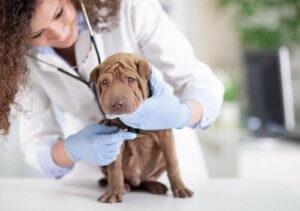 Veterineri ziyaret eden bir köpek